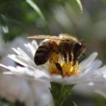 A méhek világnapja – május 20.